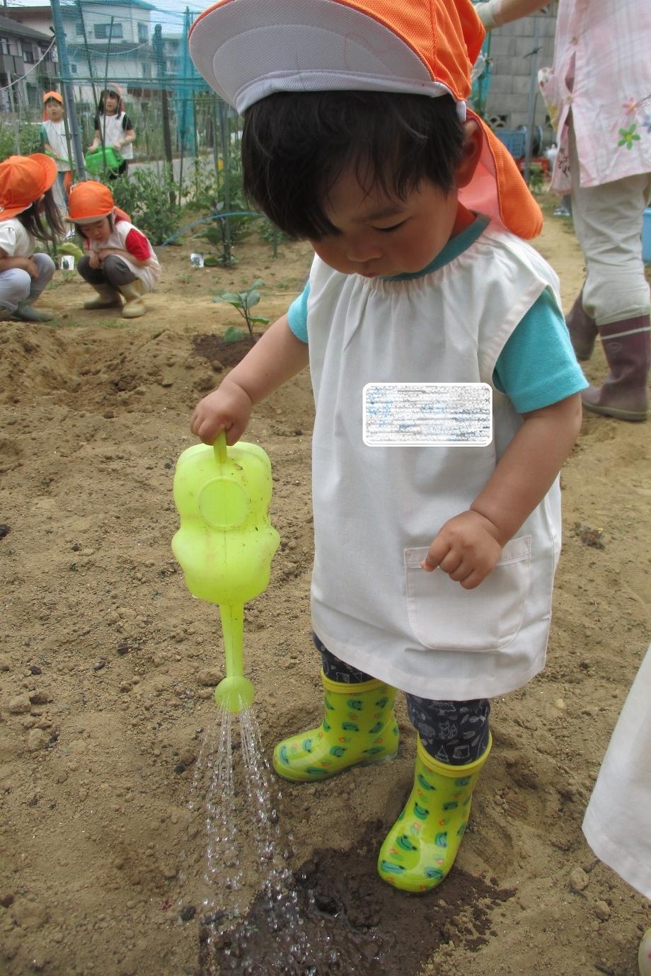 畑の苗植え